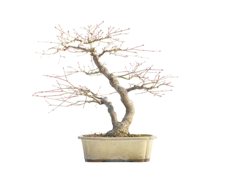 Acer palmatum, 38 cm, ± 30 jaar oud, met een nebari van 10,5 cm