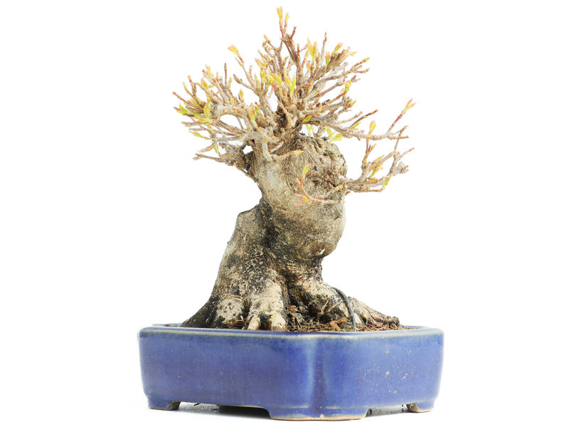 Acer buergerianum, 13,5 cm, ± 18 jaar oud