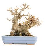 Acer buergerianum, 12,5 cm, ± 20 jaar oud, in een handgemaakte Japanse pot van Hattori