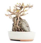 Acer buergerianum, 16 cm, ± 20 jaar oud