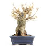 Acer buergerianum, 19,5 cm, ± 20 jaar oud