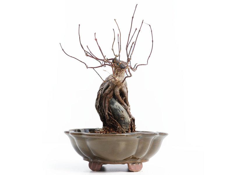 Acer palmatum Deshojo, 20,5 cm, ± 10 jaar oud