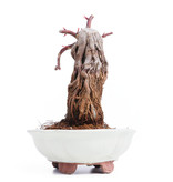 Acer palmatum Deshojo, 16 cm, ± 10 jaar oud