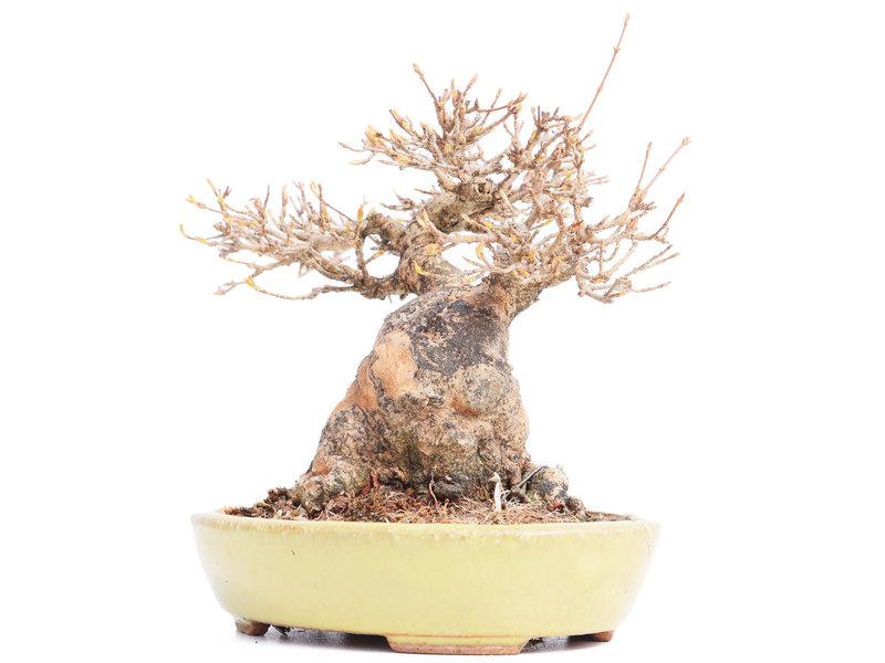 Acer buergerianum, 18 cm, ± 25 jaar oud, in een handgemaakte Japanse pot van Hattori