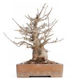 Acer buergerianum, 26 cm, ± 30 jaar oud