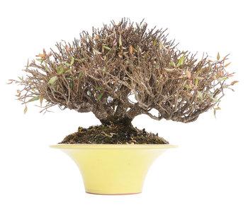 Trachelospermum asiaticum, 16 cm, ± 30 jaar oud