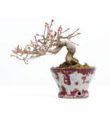 Acer palmatum, 13 cm, ± 20 jaar oud, in een handgemaakte Japanse pot van Bunzan