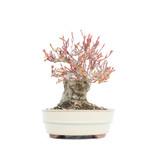 Acer palmatum, 14,5 cm, ± 25 jaar oud