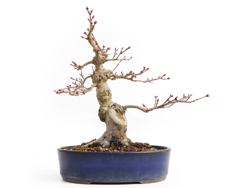Acer palmatum, 28 cm, ± 15 jaar oud, met een nebari van 9,5 cm