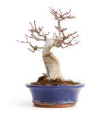 Acer palmatum, 20,5 cm, ± 25 jaar oud