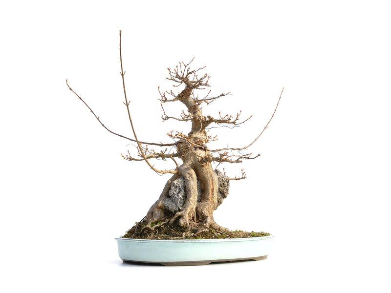 Acer buergerianum, 43,5 cm, ± 40 jaar oud, met een nebari van 23 cm