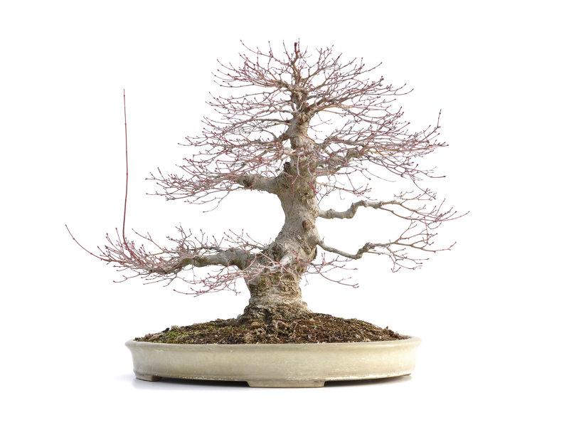 Acer palmatum, 48 cm, ± 40 jaar oud, met een nebari van 15 cm en in een Japanse pot