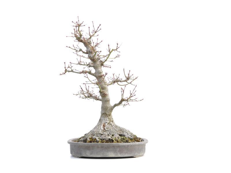 Acer palmatum, 64 cm, ± 40 jaar oud, met een nebari van 45 cm