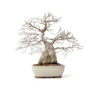 Carpinus coreana Yamadori, 32 cm, ± 50 jaar oud