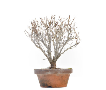Zelkova serrata, 18 cm, ± 30 jaar oud