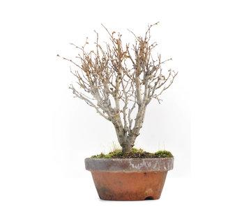 Zelkova serrata, 18,5 cm, ± 30 jaar oud