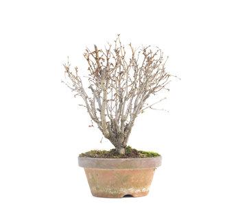 Zelkova serrata, 17 cm, ± 30 jaar oud