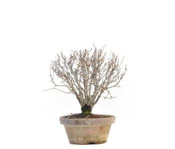 Zelkova serrata, 16 cm, ± 30 jaar oud
