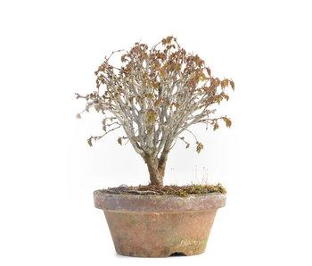 Zelkova serrata, 13,5 cm, ± 30 jaar oud