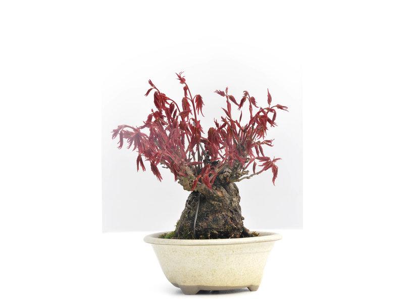 Acer palmatum, 10 cm, ± 30 years old