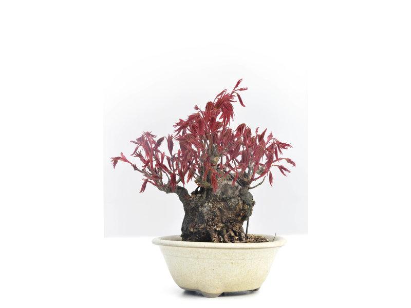 Acer palmatum, 10 cm, ± 30 jaar oud