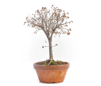 Zelkova serrata, 24 cm, ± 30 jaar oud