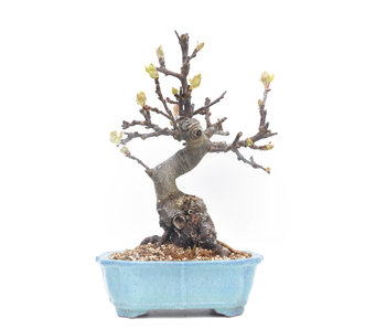 Malus siboldii, 21 cm, ± 20 years old