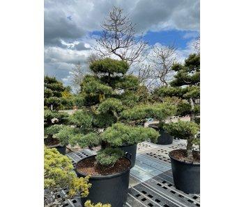 Japanese white pine, 100 cm, ± 25 years old