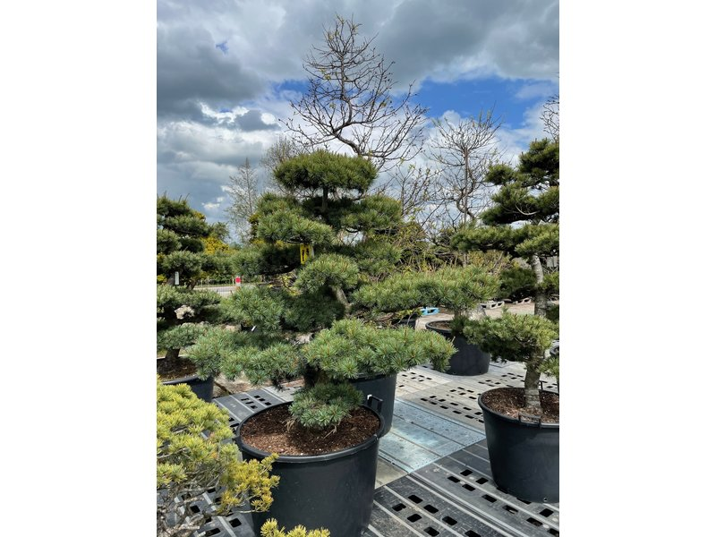 Japanese white pine, 100 cm, ± 25 years old, in a pot with a capacity of 90 liters