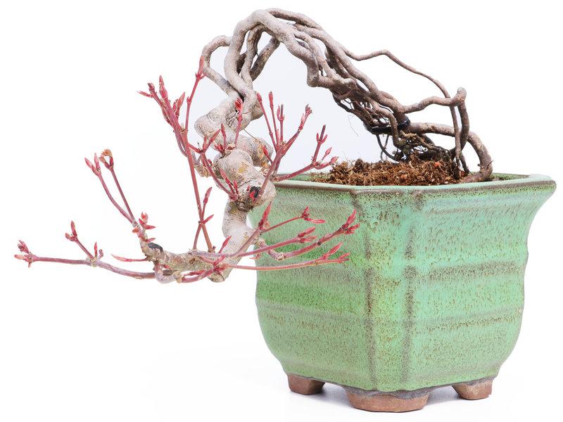 Acer palmatum Neagari, 10 cm, ± 10 jaar oud