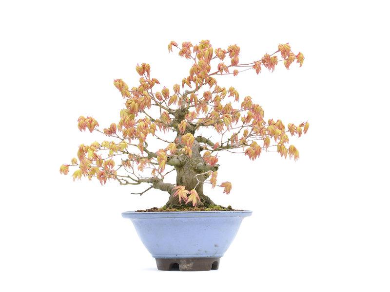 Acer palmatum, 28,5 cm, ± 30 jaar oud