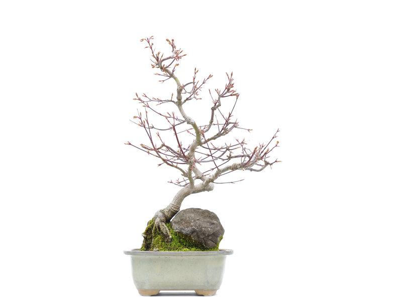 Acer palmatum, 44 cm, ± 25 jaar oud