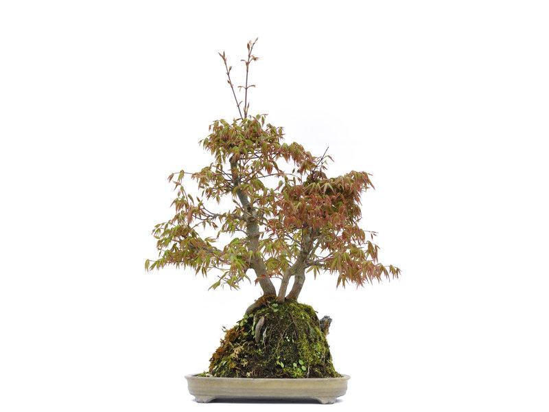 Acer palmatum, 56 cm, ± 25 jaar oud, in een handgemaakte Japanse pot gemaakt door Tosui