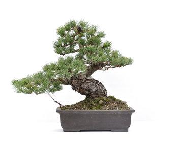 Pinus parviflora, 37 cm, ± 20 years old