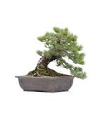Pinus parviflora, 28,5 cm, ± 20 years old