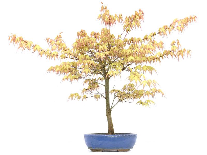 Acer palmatum Kashima, 46,5 cm, ± 11 jaar oud