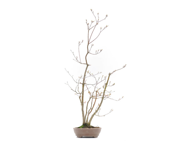 Acer palmatum, 67,3 cm, ± 20 jaar oud