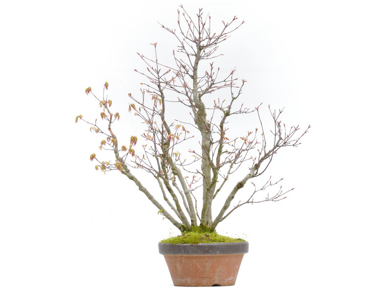 Acer palmatum, 48,5 cm, ± 30 jaar oud