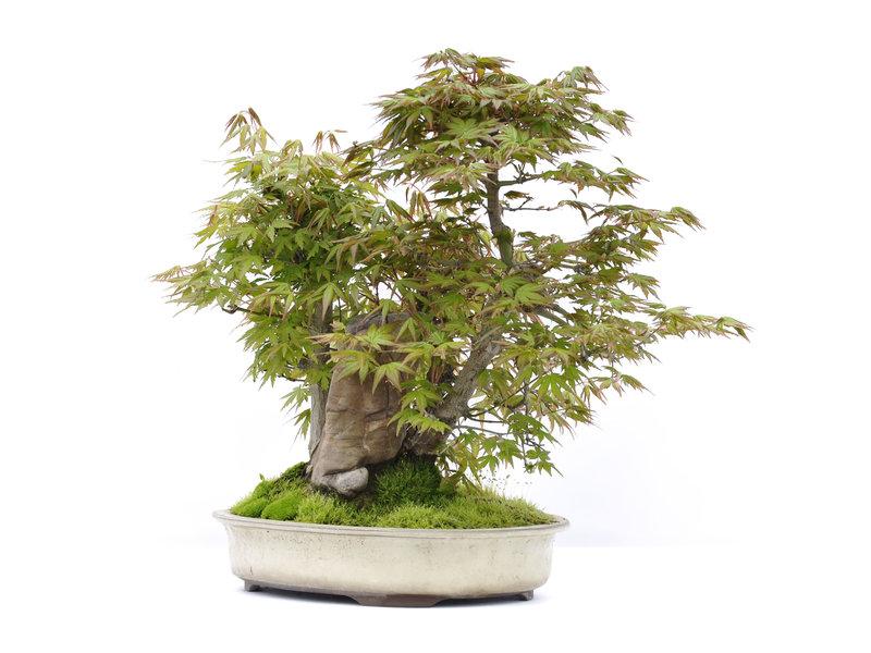 Acer palmatum, 36,5 cm, ± 25 jaar oud
