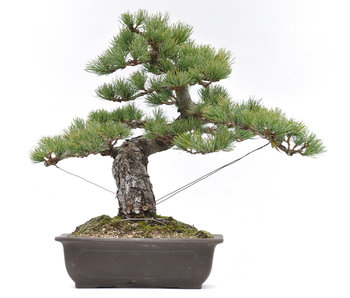 Pinus parviflora, 39,3 cm, ± 20 years old