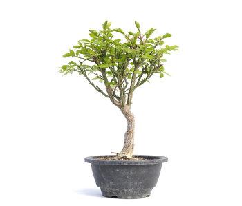 Euonymus alatus, 25,5 cm, ± 12 jaar oud