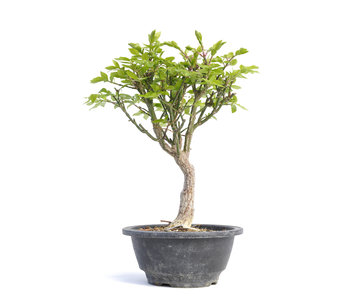 Euonymus alatus, 25,5 cm, ± 12 years old