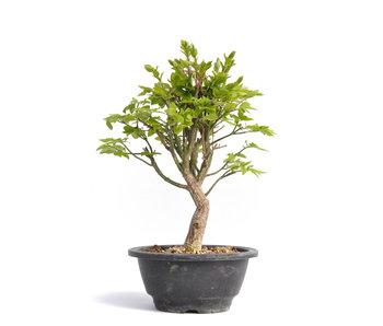 Euonymus alatus, 26,5 cm, ± 12 años