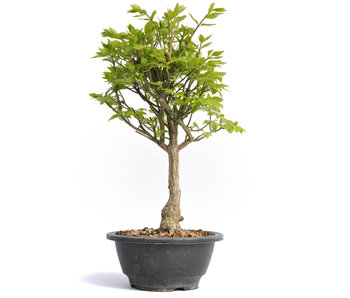 Euonymus alatus, 31 cm, ± 12 jaar oud