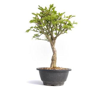 Euonymus alatus, 30,5 cm, ± 12 años