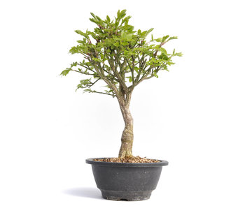 Euonymus alatus, 30,5 cm, ± 12 jaar oud