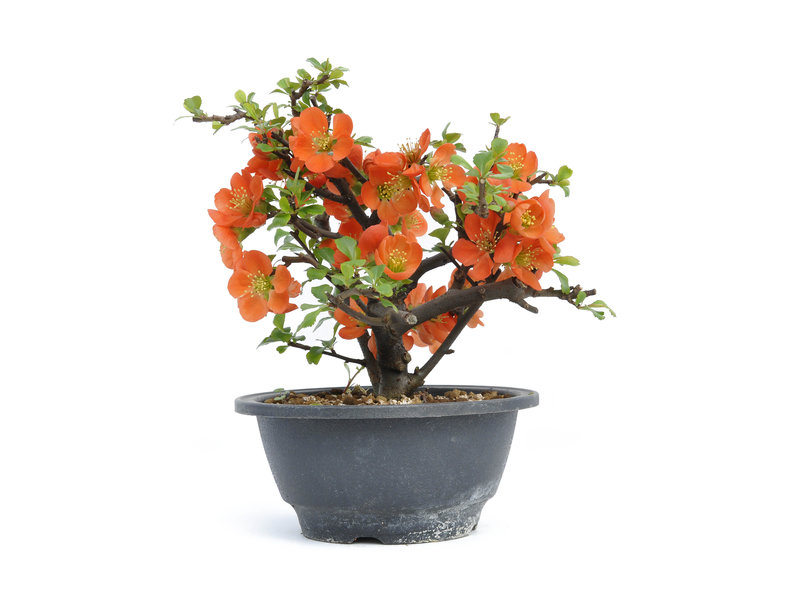 Chaenomeles speciosa, 17,5 cm, ± 15 years old, with big red flowers and yellow fruits