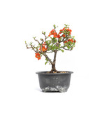 Chaenomeles speciosa, 16 cm, ± 15 years old, with big red flowers and yellow fruits