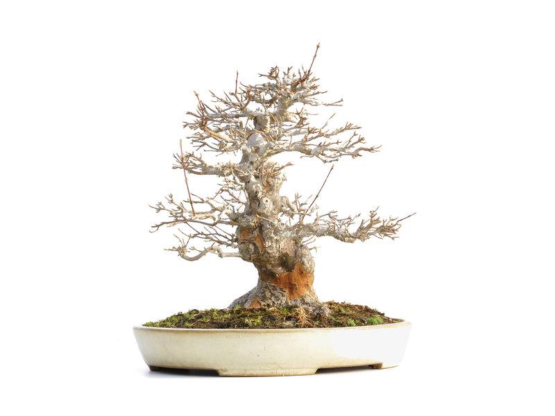 Acer buergerianum, 35,5 cm, ± 40 jaar oud, met een nebari van 16 cm en in een handgemaakte Japanse pot van Yamafusa