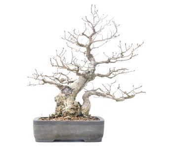 Carpinus coreana Yamadori, 34 cm, ± 40 jaar oud